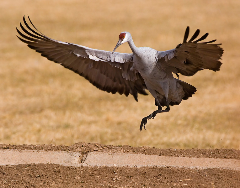 """November 27, 2007 - Ditch crossing sandhill crane in Bosque taken by Krishnan. More pics from Bosque by K <a href=""""http://www.vandanaphotography.com/gallery/3896744"""">here</a>  we had a busy time there,still processing pics from the trip; with me shooting with a D200, he with a D80; now we're wondering who gets a upgrade first to a D300 :)"""