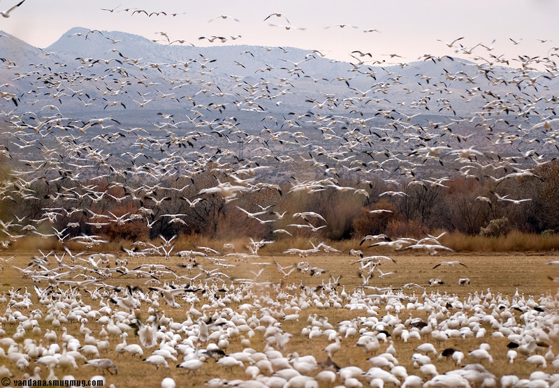 November 22, 2007 - Happy thanksgiving from Bosque del Apache<br /> <br /> some of the 20,000+ snow geese at Bosque now ! <br /> bitterly cold, snow and bad light tho, so hopefully things get better..