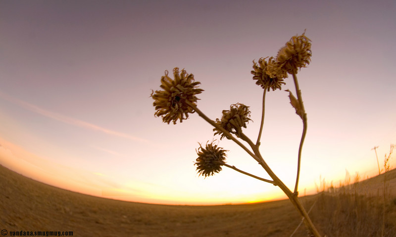 November 8, 2007 - Dying sunflowers at sunset