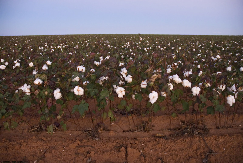 October 14, 2007 - Passed by a cotton field late evening - close to Muleshoe, TX .<br /> <br /> the sandhill cranes have not come yet to Muleshoe NWR, thought we will take an early peak there !