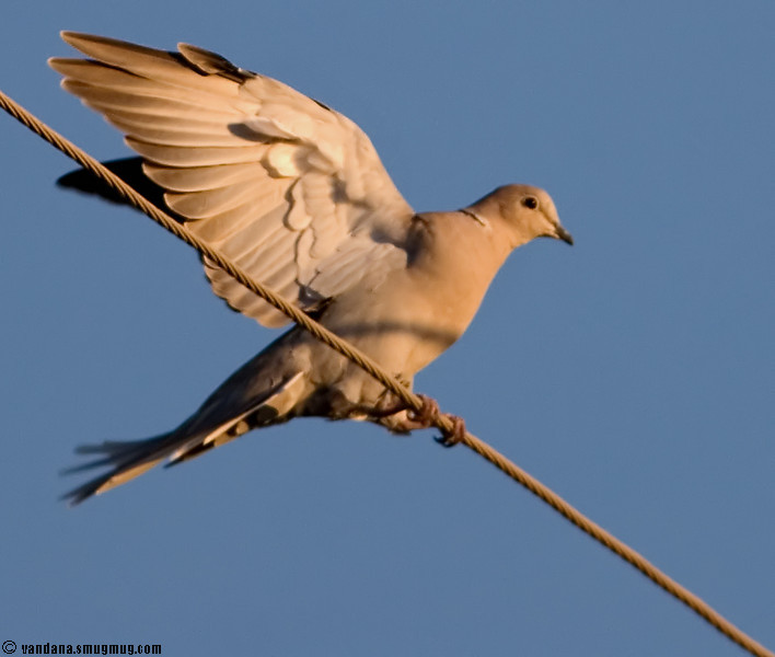 September 15, 2007 - Mourning dove shows off