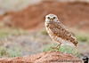May 18, 2008 - First owl of 2008 !