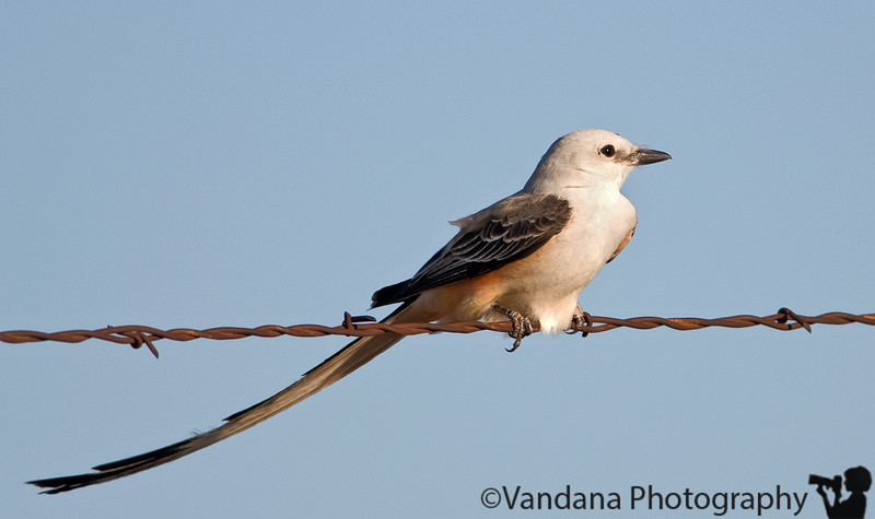 April 21, 2008 - Scissor-tailed flycatcher