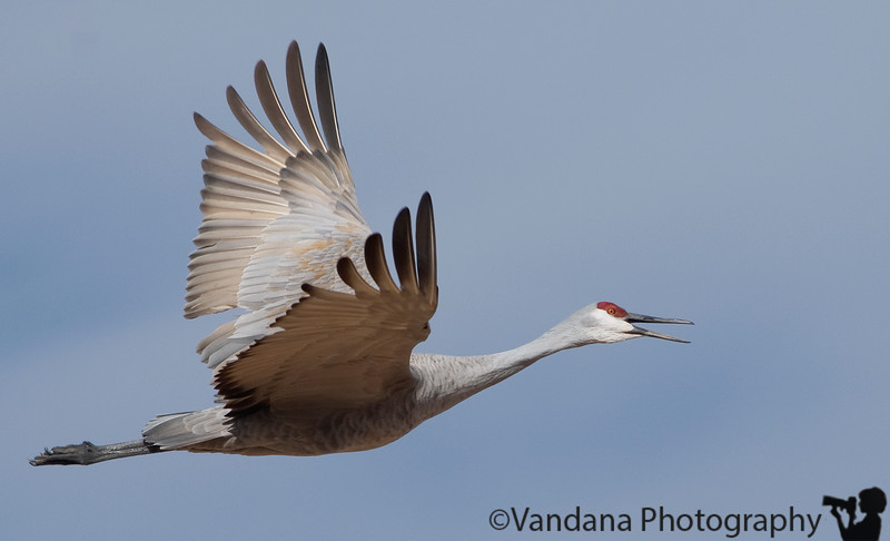 "Jan 15, 2008 - Joy !  I have been trying hard to get a sandhill crane in flight and screaming !   More pics from the Bosque trip <a href=""http://www.vandanaphotography.com/gallery/3812748"">here</a>"