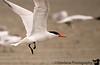 June 20, 2008 - Tern take off<br /> @Ocean Shores, WA
