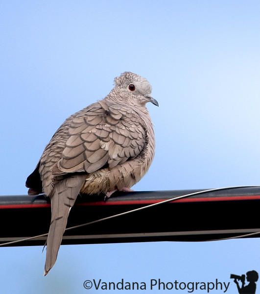July 12, 2008 - dove on a wire