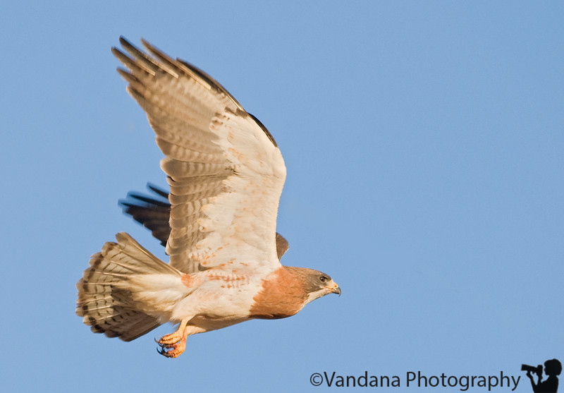 May 19, 2008 - Hawk in flight <br /> <br /> Life's been busy..I haven't had the time to browse thru other dailies yet, but hope to do so in the next day or 2.