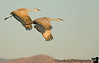 November 29, 2008 - Sandhill cranes in flight at dawn, Bosque del apache NWR
