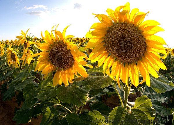 August 24, 2008 - Sunflower field, Muleshoe, TX
