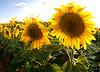 August 24, 2008 - Sunflower field, Muleshoe, TX