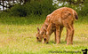 June 13, 2008 - Bambi-2, at Dungeness National Wildlife Refuge, WA