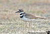 April 8, 2008 - Killdeer season comes up.<br /> <br /> low light, high ISO shot