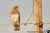 June 5, 2008 - Swainson's hawk at the pole