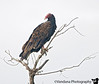 September 8, 2008 - Turkey vulture<br /> found a bunch of them on a tree looking rather scary on a stormy day ! <br /> <br /> I haven't had a chance to browse thru dailies or participate here much..maybe later this week :(