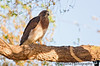 April 20, 2008 - Swainson's hawk<br /> <br /> thanks Judith !