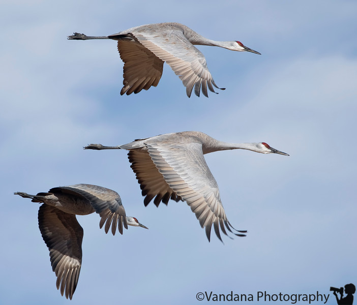 Jan 13, 2008 - Sandhill cranes in flight, Bosque Del Apache National Wildlife refuge.<br /> I think this will be my last trip to Bosque this season. There are now about 50,000 snow geese here and 13,000+ sandhill cranes.<br /> <br /> All bird shots shot with D300+300 f4+ 1.4 TC. The D300 was just wonderful.<br /> <br /> I will try to catch with other dailies of the DPC this week :)