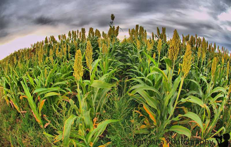 October 9, 2008 - The corn field