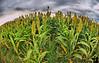October 9, 2008 - The corn field