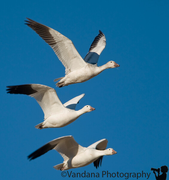 Jan 11, 2008 - Snow geese triplets at Bosque !<br /> <br /> a wonderful day at Bosque NWR, beautiful light, and first trip out with D300 !