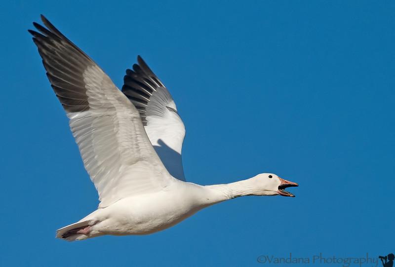 Jan 12, 2008 - Snow geese screams in delight at seeing my D300 .