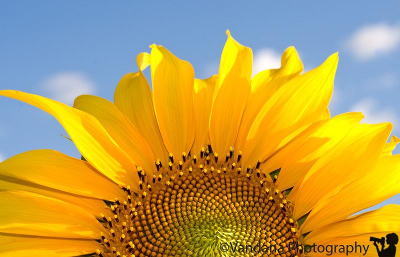 """August 25, 2008 - Sunrise More pics from my sunflower field <a href=""""http://vandana.smugmug.com/gallery/5799063_JpKmK#359186330_QMTdK"""">here</a>"""
