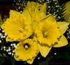 March 14, 2008 - Daffodil days