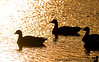 December 19, 2008 - Canada geese on the lake