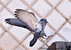 Jan 23, 2008 - Parinda ( Pigeon in hindi) <br /> <br /> I reached the US safely on Monday, and am back to work. Still recovering from a cold and hectic trip which included about 8 plane rides, one a 15hr flight ! am slowly processing pics..