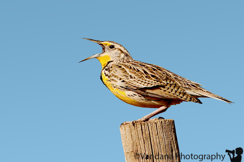 March 3, 2008 - Sing to the spring!<br /> <br /> always good to see the western meadowlark singing its heart out !