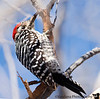 Feb 19, 2008 - Northern flicker