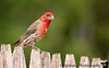 June 30, 2008 - House finch at the backyard