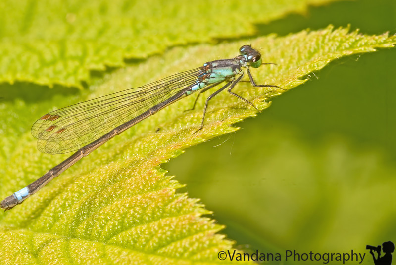 June 14, 2008 - Dragonfly at Nisqually National Wildlife Refuge, WA