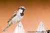 August 5, 2008 - Backyard Sparrow