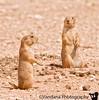 August 1, 2008 - Prairie Dogs