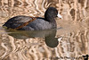 December 29, 2008 - the American coot