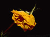 March 7, 2008 - and then a dying flower