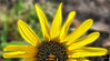 August 7, 2008 - sunflower and bugs