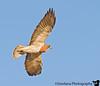 October 16, 2008 - Hawk overhead
