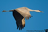 Jan 10, 2008 - Sandhill crane in flight at Bosque<br /> <br /> at Bosque Del Apache National wildlife refuge