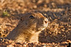 April 7, 2008 - Prairie dog<br /> <br /> these prairie dog holes are the ones where the burrowing owls come this season.found the owls in March last year, but not yet, this season.