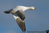 November 27, 2008 - Snow goose in flight, Bosque Del apache NWR.