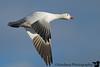 November 27, 2008 - Snow goose in flight, Bosque Del apache NWR.