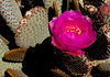 April 2, 2008 - such shocking pink from a cactus ?!
