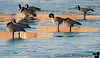Jan 4, 2008 - Canada geese in the cold