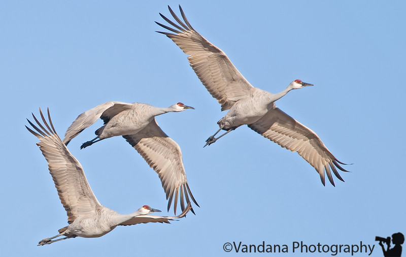 December 31, 2008 - The sandhill cranes wave goodbye to 2008 !<br /> a very Happy new year to all !