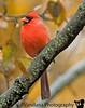 October 28, 2009 - Friendly neighborhood Cardinal