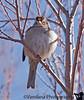 Feb 7, 2009 - a fat finch in winter !