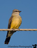 May 13, 2009 - a Western Kingbird on the wire