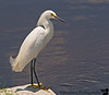 May 31, 2009 - an egret in Orlando<br />  time for some birding along with some oncology care