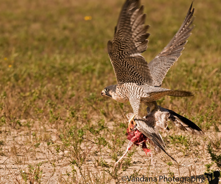 Jan 12, 2009 - a Peregrine Falcon and its catch !<br /> <br /> thanks all for the Id !